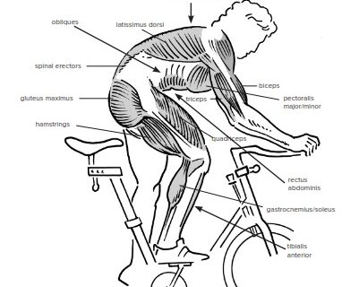 muscles in cycling